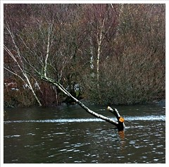 December 6th (peterdouglas1) Tags: trees lakes llanberis hightide llynpadarn thattree