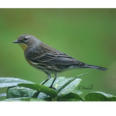 Yellow Rumped Warbler, Setophaga coronata (Tina Stadeli) Tags: warbler yellowrumpedwarbler yellowbird backyardbirds backyardbirding