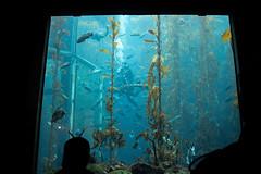 feeding time (j j miller) Tags: california window water silhouette aquarium coast monterey education tank montereybayaquarium montereybay science kelp learning hwy1 sustainability californiacoast kelpforest giantkelptank