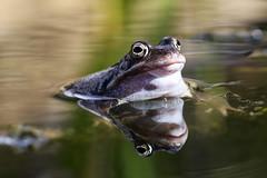Frog (Emma Pollock - Photos) Tags: wildlife herefordshire gardenfrog pondlife pond garden green reflection reflecting amphibians commonfrog frog