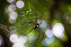 Nephila Spider (Nikeee_) Tags: 2016 asien thailand urlaub spider spinne chiang mai nephila dangerous danger asia doisutep doi sutep tempel wat travel chiangmai cobweb spinnennetz vacation nature natur female identified