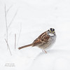 White throated Sparrow (jklewis4) Tags: backyard bird birds feeder sparrow whitethroated winter white snow whitethroatedsparrow nature outdoor
