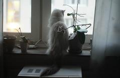 waiting for the birds  to fly (johanssoneva) Tags: fs161211 fotosöndag photosunday väntan waiting katt cat lessie ragdoll djur animal vantan