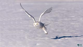 ''Le grand maître blanc!'' Harfang des neige- Snowy owl