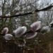 Goat Willow - Salix caprea (Nettle Runner) Tags: retford nottinghamshire uk goatwillow salixcaprea riveridle idlevalleynr