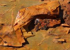 Peeling Off (arbyreed) Tags: ttt close closeup arbyreed peeling peelingpaint peelingpaper surplus ogden rust rusty metal