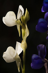 Utricularia delphonioides (Arddu) Tags: utricularia cambodia cardamommountains flora carnivorous