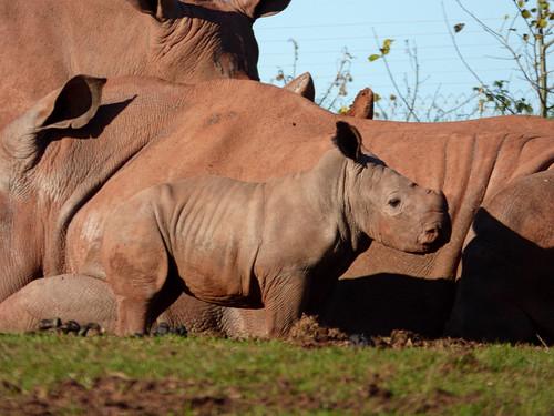 South Lakes Zoo - rhinos and calf (2)