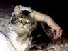 Brown tabby Maine coon (romeosilverpersian) Tags: mainecoon kitten cats cat browntabby tabbycats pet animalidomestici gatti