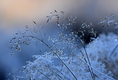 Frozen drops. (pstone646) Tags: winter frost weather ice grass droplets water cold nature