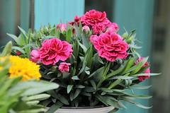 Claveles (Relaboticaria) Tags: macetas clavel clavellina rosa planta calle flor flores verde