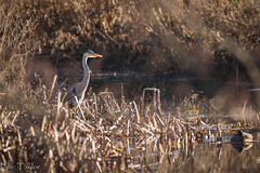 Hunting Heron (ellie.taylor30) Tags: anton hampshire hiwwt sigma sigma150600 nikonnaturephotography nikon nature flickrnature bird