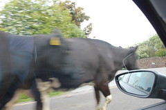 IMG_3045 (avsfan1321) Tags: ireland countykerry cow cows irishtrafficjam road