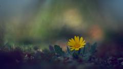 Flor de Enero. (luisotespi68) Tags: panorámica flores flora vegetación naturaleza chinon 50mm macro aproximación bokeh fondo desenfoque