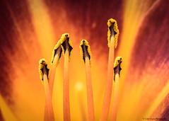 Heart of the Flower (Colin_Evans) Tags: flower orange red stamen nature macro floral blossom flora plant closeup garden beauty pollen petal bloom pistil stamens petals summer spring close colorful detail botany blooming vivid botanical gardening plants
