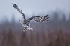 Great Grey (Peter Stahl Photography) Tags: greatgreyowl owl alberta winter snow cold outdoors ggo