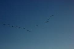IMG_9191 (EJ Bergin) Tags: burtonmillpond westsussex trees countryside landscape pond birds flyingbirds vformation