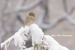 IMG_2867 (nitinpatel2) Tags: bird snow winter nitin patel