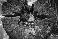 Tree Trunk End (t conway) Tags:
