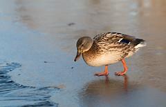 Auf dem Eis (Anja van Zijl) Tags: duck ente eend ice water eis ijs animal tier watervogel wasservogel waterbird