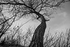 DSC_2834 (Eric Hartke) Tags: aop beach keswick outdoors photoassignments tree winter nikond700 nature blackandwhite 1735mmf28d