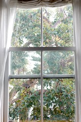 white painted edwardian window frame, sheer curtains, eucalyptus, tree,  L1020728 (Lynn Friedman) Tags: 94117 vertical favstock white filteredlight windowframe curtains tree