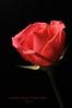 Happy Valentines Day!! (CORDAN) Tags: happyvalentinesday2017 cordan dmyers love nikond300 105mm notforshrek