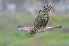 Northern Harrier (bmse) Tags: femalenorthernharrierhawk bolsachica bmse salah baazizi wingsinmotion canon 7d2 400mm f56 l