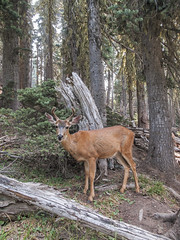 Sees me and smiles at me. (Tim Kiser) Tags: 2015 20150823 abies august august2015 clallamcounty clallamcountywashington highridgetrail hurricaneridge img0382 odocoileus odocoileushemionus odocoileushemionuscolumbianus olympicnationalpark olympicpeninsula washington washingtonstate antlers blacktaildeer coniferousforest conifers deer fir firtrees forest maleblacktaildeer maledeer nationalpark northwestwashington northwesternwashington park standingdeer westwashington westernwashington woods portangeles unitedstates