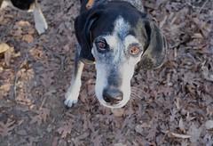 10/52 her terrible fear (huckleberryblue) Tags: week10 52weeksfordogs hiking treats entreaties eyes love dog hound coonhound bluetickcoonhound gracie