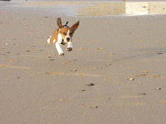 I believe I can fly (chloe_lgn) Tags: puppy flying dumbo dog chiot chien voler plage beach canon canonfrance powershot sable mer perro animal saut jump sand france vendee tanchet