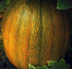 pumpkin texture (MissyPenny) Tags: plant texture vegetables garden pumpkin pennsylvania