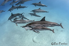 Moms and young ones (bodiver) Tags: hawaii ambientlight wideangle snorkeling freediving dolphins kona fins naia kailua