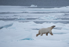 DSC_3533 (stacyjohnmack) Tags: july23 polarbear artic