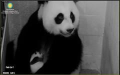 Pandas 2015-09-18 at 14.28.15 PM 1 (MyFoto:)) Tags: smiling cub smithsonian nationalzoo pandas ccncby
