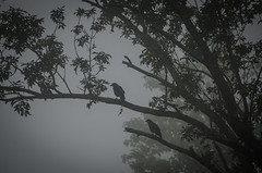 Two crows (hickamorehackamore) Tags: statepark morning summer tree fog connecticut ct september crows ctriver connecticutriver 2015 haddam haddammeadows