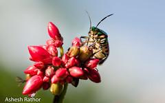 Jewel bug sucking it up (asheshr) Tags: macro bug insect tinybug jewelbug scutelleridae insectmacro tinyinsect jewelbugcloseup