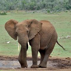 "Wrinkled elephant at waterhole with elephant ""graveyard"" beyond (stevelamb007) Tags: africa elephant nature landscape southafrica addo nikon bones waterhole 18200mm d90 addoelephantnationalpark stevelamb"