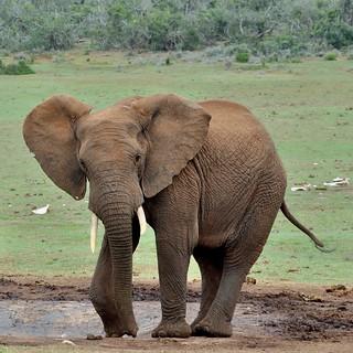 Wrinkled elephant at waterhole with elephant