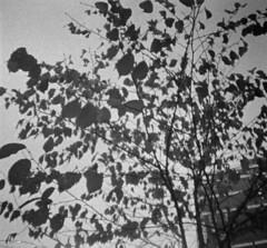 Leaves (rotabaga) Tags: blackandwhite bw gteborg diy lomo sweden gothenburg sverige svartvitt r09 fomadon lomography400 dianamini bwfp