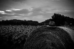 Hay balls (eliana bonanno) Tags: flowers sunset blackandwhite panorama field landscape monocromo cap sunflower campo fields girasole paesaggio biancoenero cappello girasoli campi fieno hayfields monocrom campodigirasoli