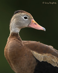 This is my best side!...........D800 (Larry Daugherty ~ Very Slow for several days :-)) Tags: portrait nature water closeup duck louisiana aves fowl metairie anatidae anseriformes whistlingduck chordata blackbelliedwhistlingduck neornithes dendrocygnaautumnalis anamalia lafrenierepark neognathae galloanserae dautumnalis dendrocygninae dendrocrygna