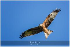 Red Kite 4 (candicemorganphotography) Tags: sky bird action flight raptor birdofprey acrobatic redkite sonyalpha850 sony70400g2