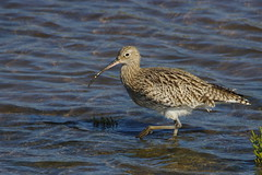 IMGP4610 Curlew, Titchwell, October 2015 (bobchappell55) Tags: wild bird nature wildlife norfolk reserve curlew titchwell rspb wader
