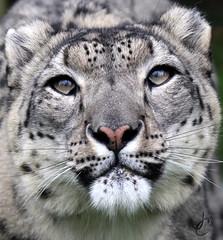 WHF: Laila (Snow Leopard) (Jasmine'sCamera) Tags: snow cat leopard bigcat snowleopard wildlifeheritagefoundation whf