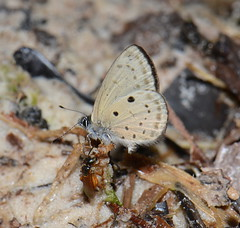 DSC_3494 (Pasha Kirillov) Tags: butterfly lepidoptera sarawak malaysia borneo lycaenidae kelabithighlands taxonomy:order=lepidoptera taxonomy:family=lycaenidae geo:country=malaysia
