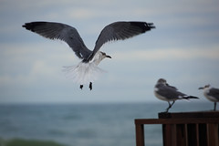 Flying in (dennisknowlesphotos) Tags: ocean beach birds pier florida wildlife seagull gulfcoast annamariaislandpier