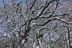 Forest of the Medusae (brucetopher) Tags: blue trees winter tree fall grey scary dangerous raw branch bare branches forboding medusa twisted rugged wiggle wriggle medusae treemendous writh brucetopher treemendoustuesday