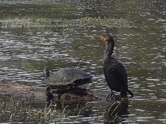 Cormorant and Turtle at Silver Springs State Park (johnandmary.F) Tags: ocalafl silverspringsstatepark artisansprings