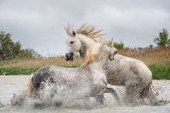 Camargue stallions clashing (koalie) Tags: horse water animal droplets marshland camargue lescabanesdecacharel